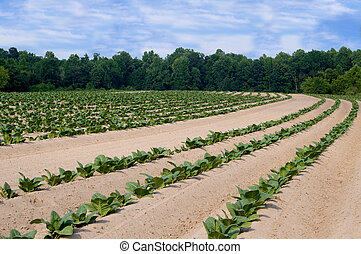 Tobacco Field - Healthy tobacco plants on a farm field