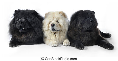 chow chow in studio - Three Chow-Chow in studio on white...