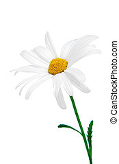 oxeye daisy - close up of a oxeye daisy on a white...