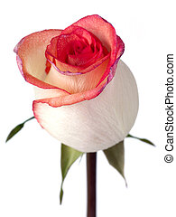 solitary bi color peach rose with pink and purple petal...
