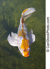 Koi carp - Beautiful koi carp swimming in a pond