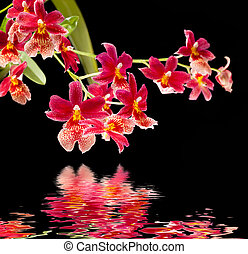 orchid with water reflection - Cambria. Red and white flower...