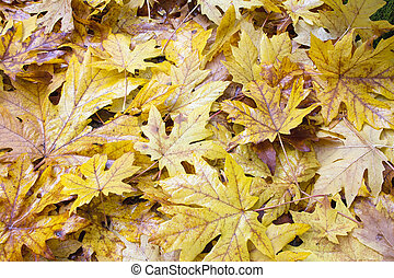 Fallen Wet Giant Maple Tree Leaves Background