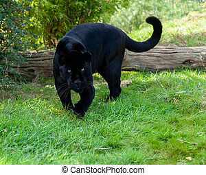 Angry Black Jaguar Stalking Forward Panthera Onca
