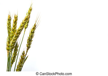 Wheat - A close-up image of the winter wheat plant.