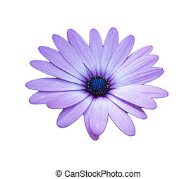 purple african daisy on white background isolated