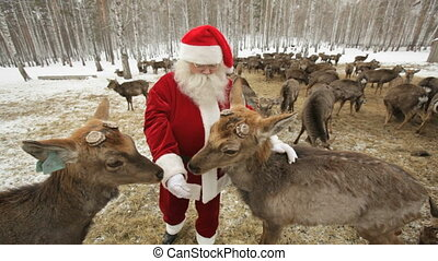 Hungry herd - Santa Claus feeding deer herd pasturing on...
