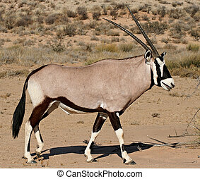oryx in kalahari desert - side view of oryx antelope in...