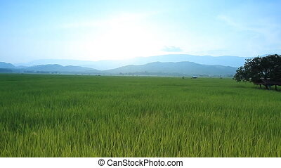 Rice farm - Landscape of rice farm in Thailand : Crane shot