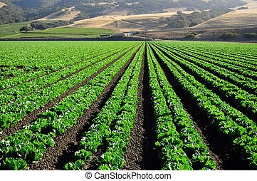 lettuce fields Salinas Valley - lettuce fields in the...