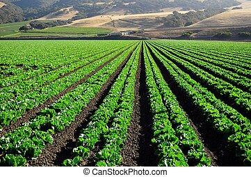 lettuce fields Salinas Valley - lettuce fields in the...