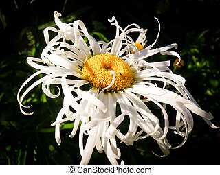 Leucanthemum daisy type flower - single white leucanthemum x...