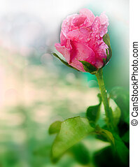 pink rose with fresh water dew shallow depth of field