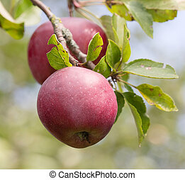 Apples close up - Red apples growing on a brench