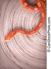 Corn snake on wooden surface