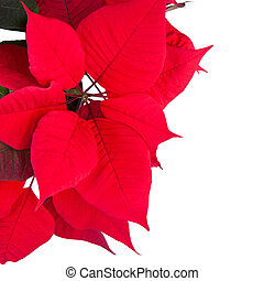 Red christmas flower poinsettia isolated white