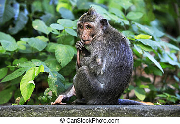 Monkey - The child of monkeys. Wood of monkeys. Indonesia....