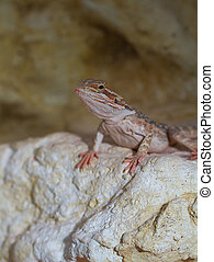 Bearded dragons Red Leatherback Pogona vitticeps