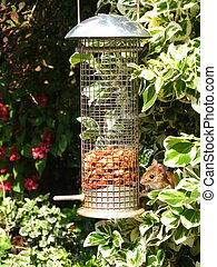 wild mouse on birdfeeder - wild mouse eating peanuts from...