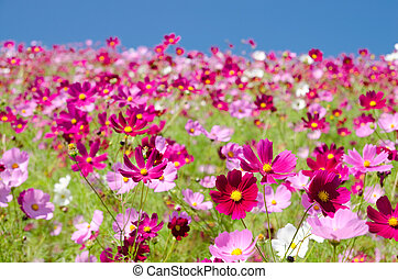 Hill covered with pink cosmos flowers from the front under...