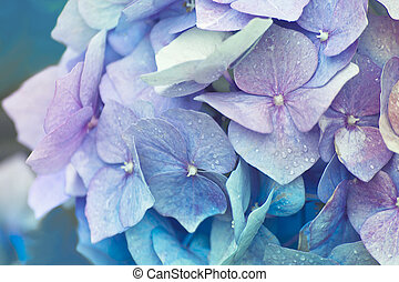 Blue Hydrangea - Blue Hortensia flower branch