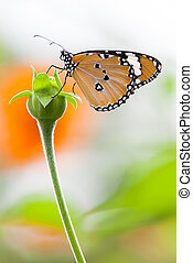 Orang Butterfly with single flower - animal, background,...