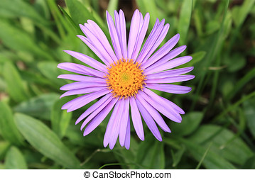 Aster alpinus - Lilac flower of Aster alpinus close up on...