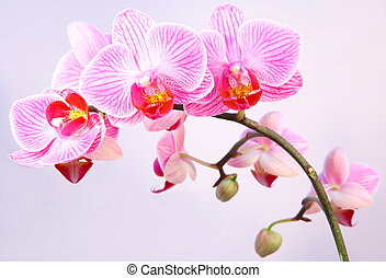 Pink streaked orchid flower