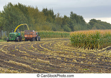 Harvesting Maiz - Field of corn being harvested in the...