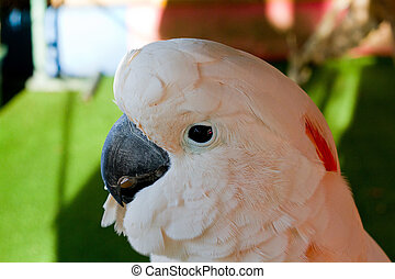 Moluccan Cockatoo - A photo of the Moluccan Cockatoo taken...