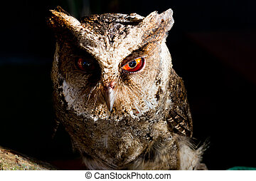 Philippine Scops Owl Upclose - A photo of the Philippine...