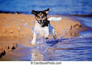 Running Terrier - Jack Russell terrier running along the...
