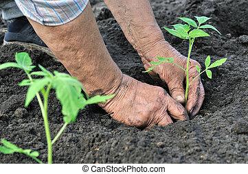 3º edad, mujer, plantación, tomate, planta de...
