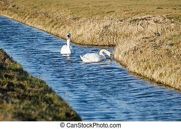 Swimming Swan - The swans are the largest members of the...