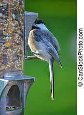 Wild Black-Capped Chickadee Bird - Cute wild black capped...