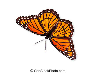Viceroy butterfly over white - Viceroy butterfly (Limenitis...