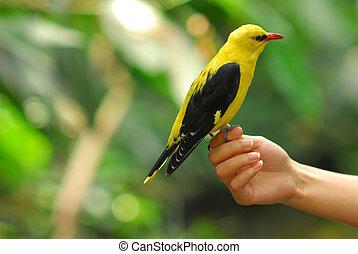 Oriole bird - Golden Oriole bird on hand