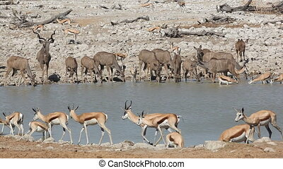 Antelopes at waterhole - Kudu and springbok antelopes...