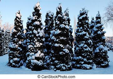 piccolo, neve, abete-alberi, coperto
