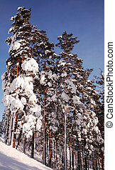 Beautiful pine-tree forest on a sunny winter day