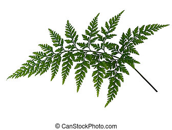 Fern leaf isolated over white background - Asplenium...