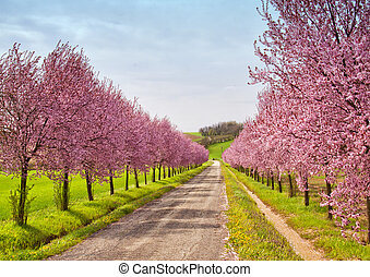 Peach flowers - A road coasted by peach trees full of pink...