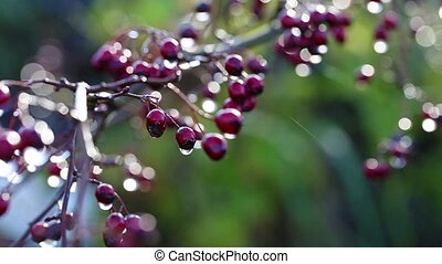 Hawthorn - berries - Hawthorn with water drops - macro shot