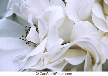 White roses - Close-up of white roses in bunch