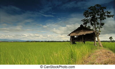 Rice farm in Thailand: Time lapse