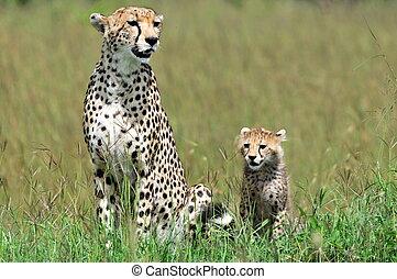 Cheetah with  cub in Masai Mara
