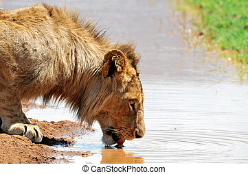 Male Lion Drinking water in ngorongoro crater.