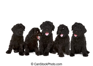 Group of Black Russian Terrier Puppies - Happy Litter of...