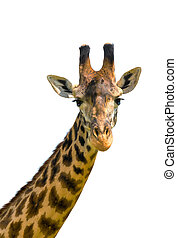 head of giraffe over white background