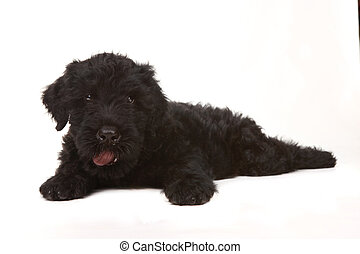 Little Black Russian Terrier Puppy on White Background -...
